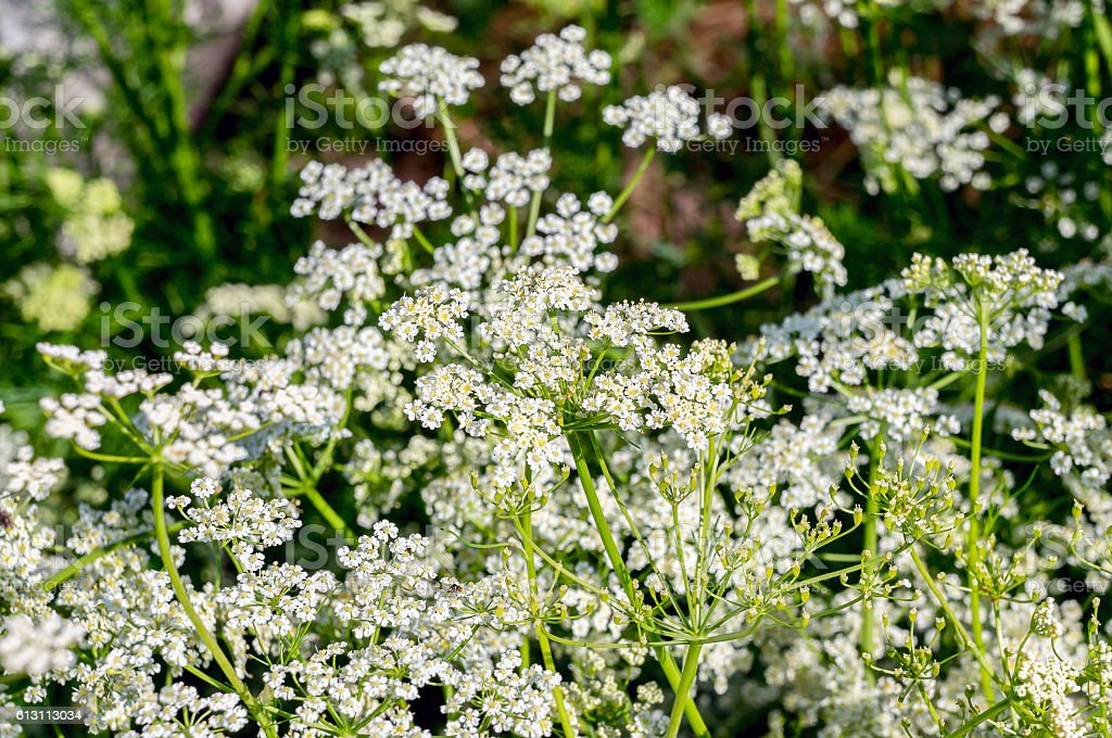 Fresh caraway flowers stock photo