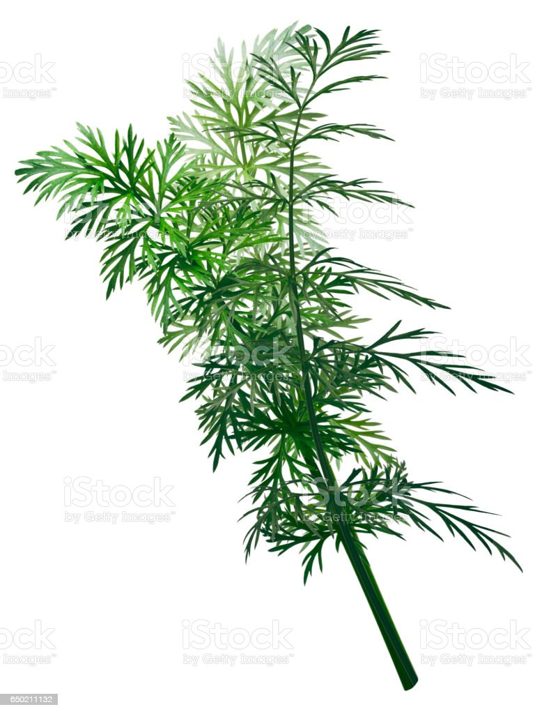 Fresh Caraway (Carum carvi), paths stock photo