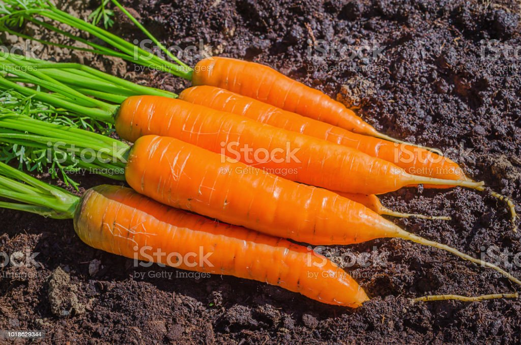 Fresh carrot in the garden. Juicy washable carrots lying on the...