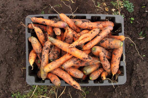 Fresh carrots in the box. stock photo