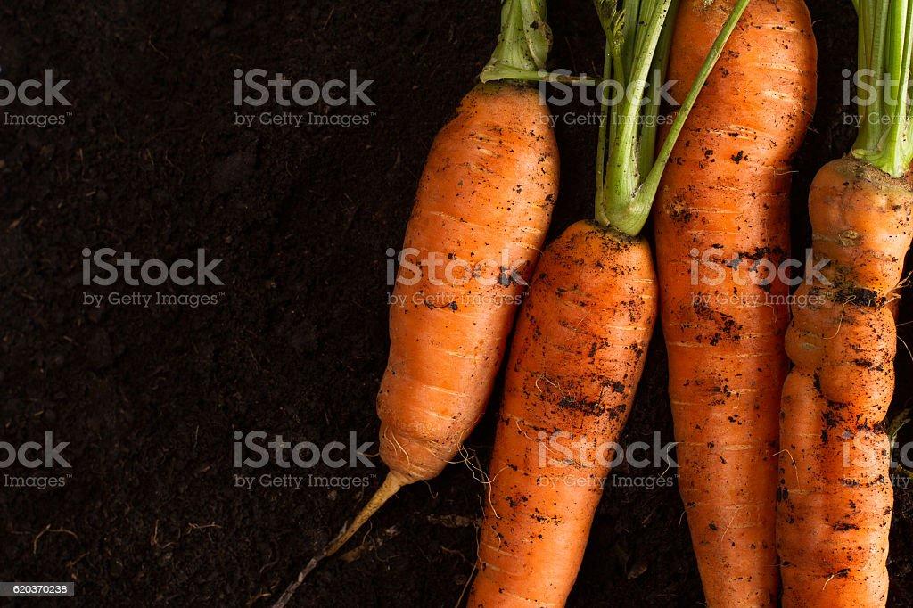 Fresh carrots on dark soil background texture zbiór zdjęć royalty-free