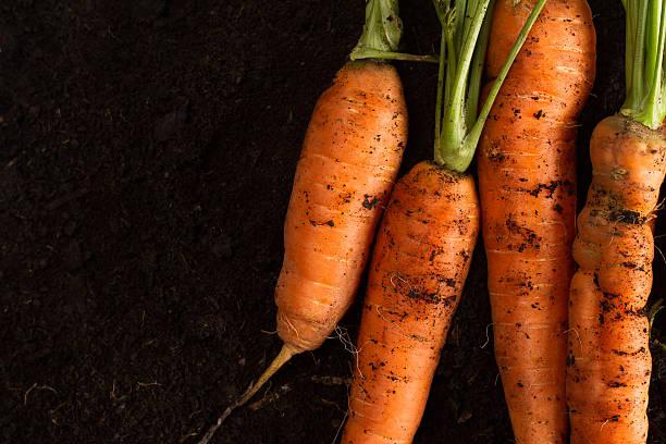 fresh carrots on dark soil background texture - dunkle flecken entferner stock-fotos und bilder