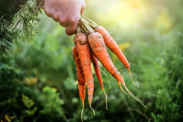 fresh carrots picked from bio farm in hand. - cenoura imagens e fotografias de stock