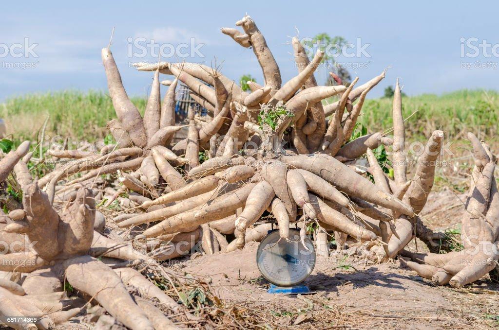 Fresh cassava harvested in farmland. stock photo