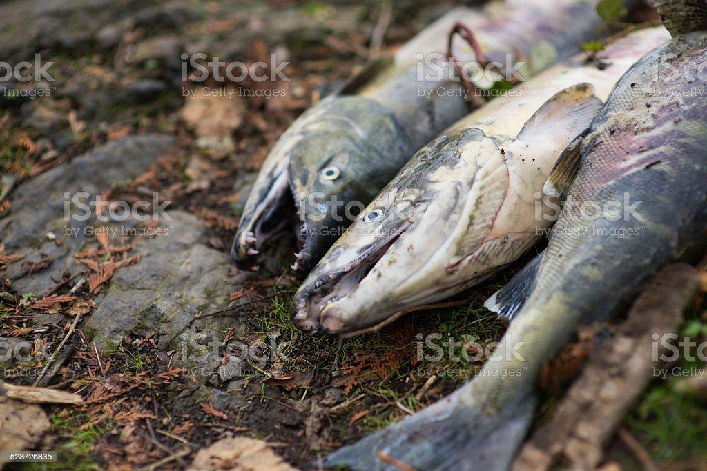 Fresh caught Chum Salmon on riverbank stock photo