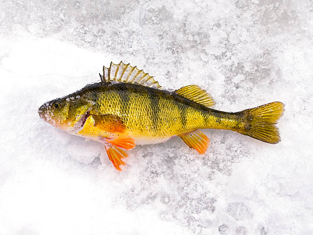 Fresh Caught Perch  perch fish stock pictures, royalty-free photos & images