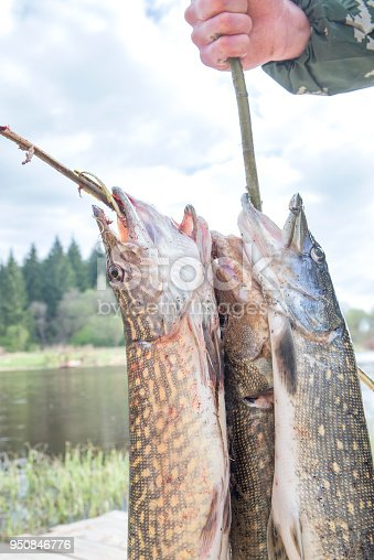 139888169 istock photo Fresh caught pike on a spinner. 950846776
