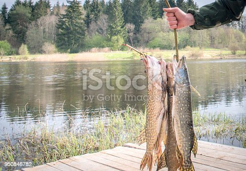 139888169 istock photo Fresh caught pike on a spinner. 950846782