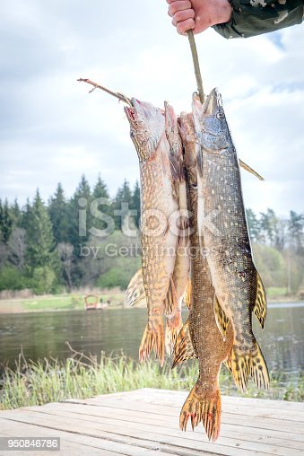 139888169 istock photo Fresh caught pike on a spinner. 950846786