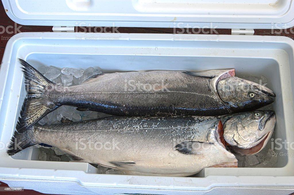 fresh caught salmon stock photo