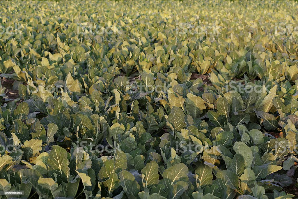 Fresh Cauliflower Cultivated Land stock photo