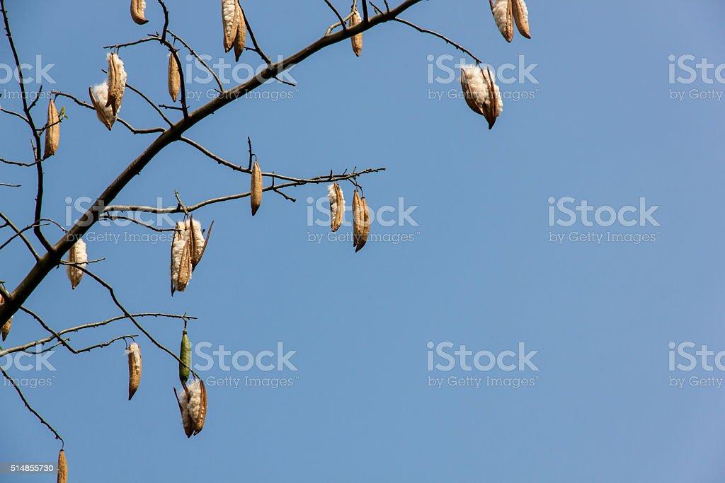 fresh ceiba pods stock photo