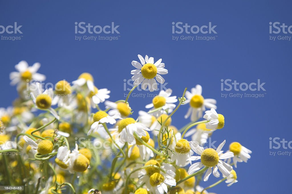 Fresh Camomille royalty-free stock photo