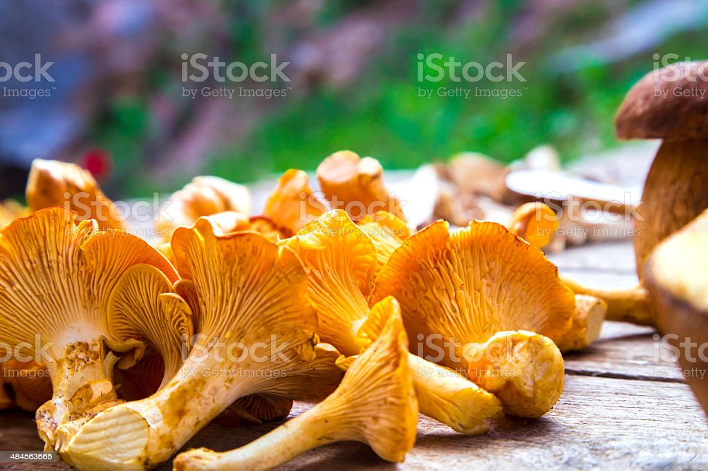 Fresh Chanterelle and Boletus Edilus mushrooms stock photo