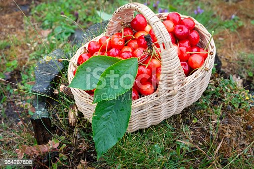 Fresh cherries picked after the rain