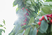Fresh cherry berries on a tree branch.