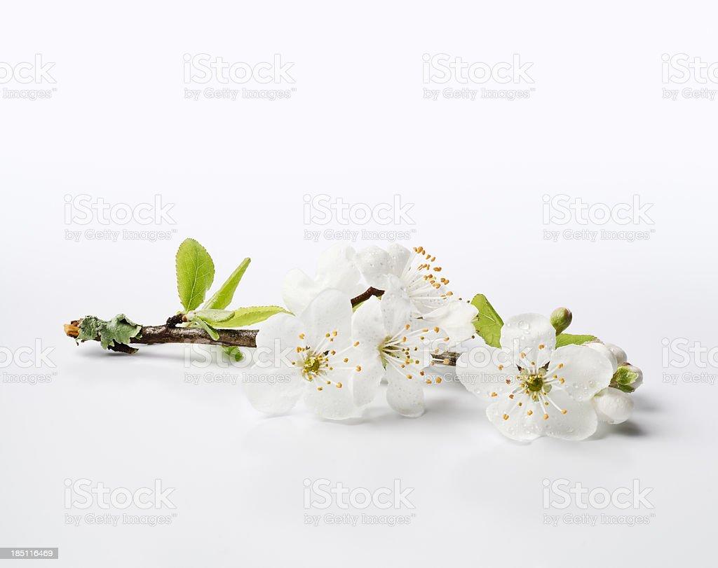 Fresh Cherry Blossom Sprig - XXXL royalty-free stock photo