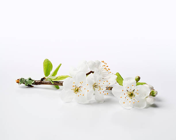 Fresh Cherry Blossom Sprig - XXXL stock photo