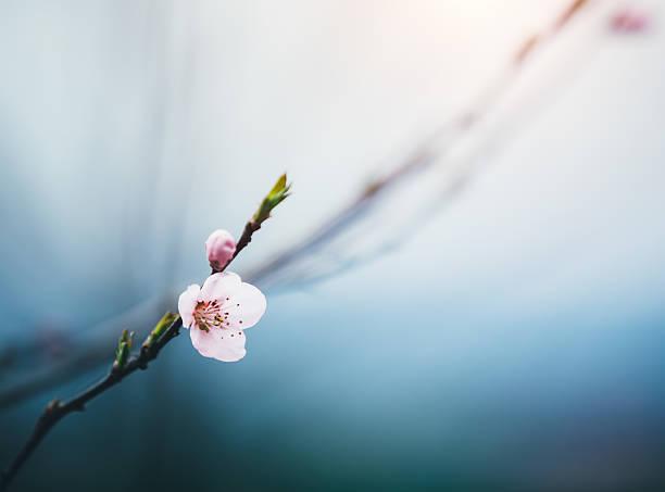 świeże cherry pąki - pączek etap rozwoju rośliny zdjęcia i obrazy z banku zdjęć