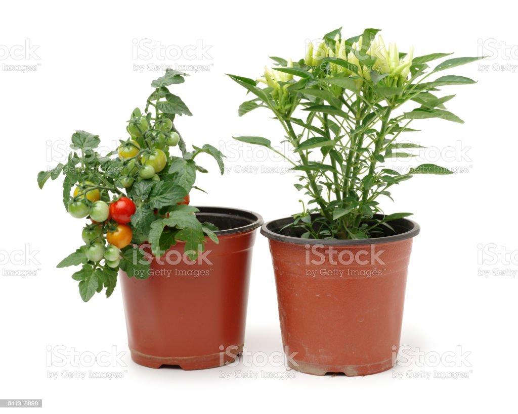 Fresh cherry tomato plant and fresh Paprika in a jar on white background stock photo
