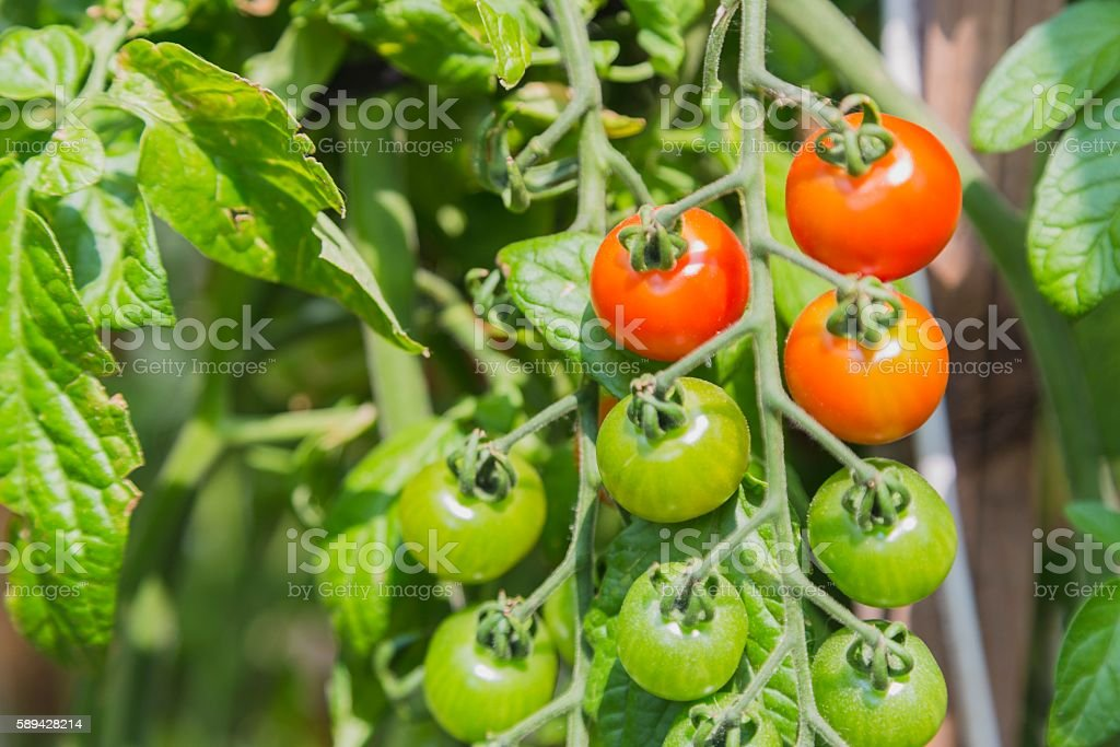 Fresh cherry tomatoes in the garden stock photo