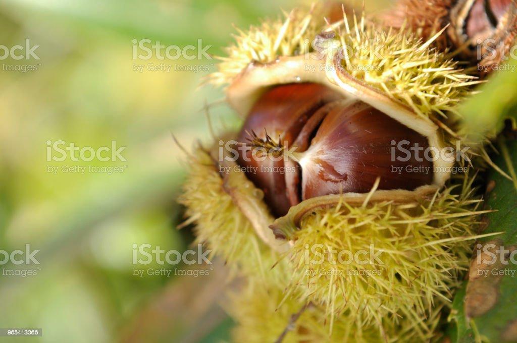 châtaignes fraîches dans un bug - Photo de Aliment libre de droits