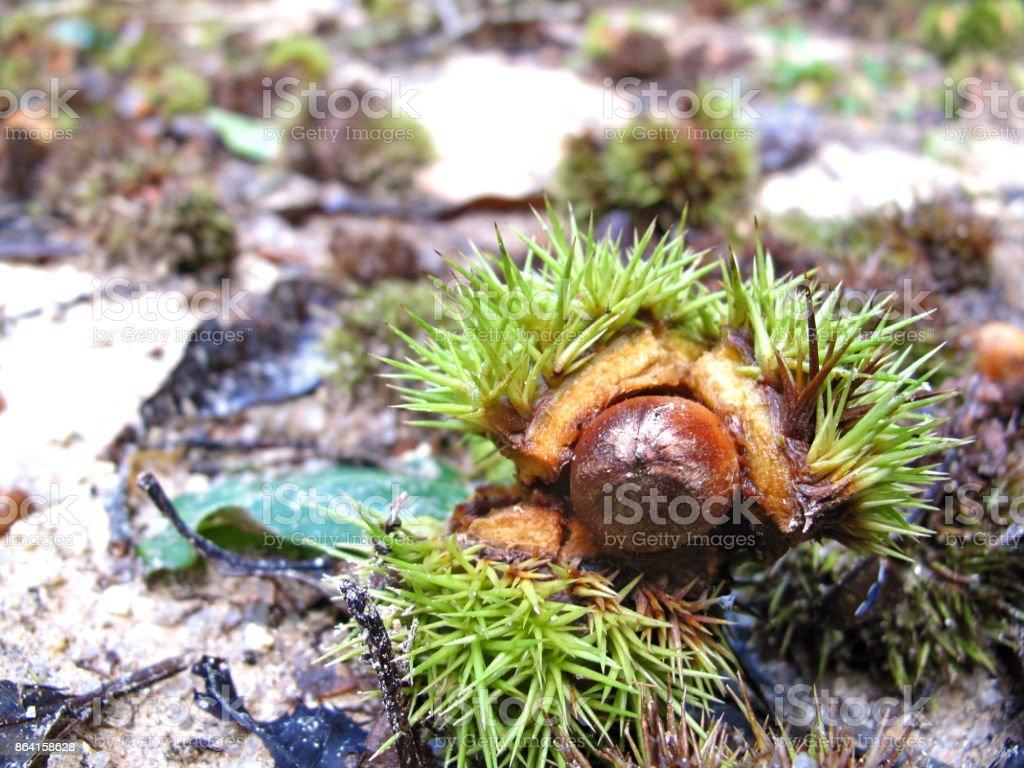 Fresh chestnuts royalty-free stock photo