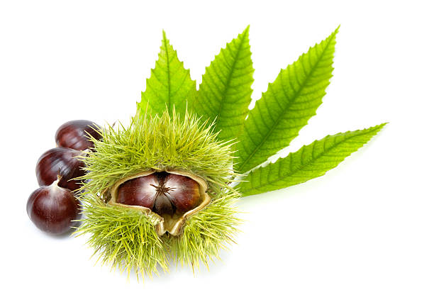 Fresh chestnuts with green leaves, isolated stock photo