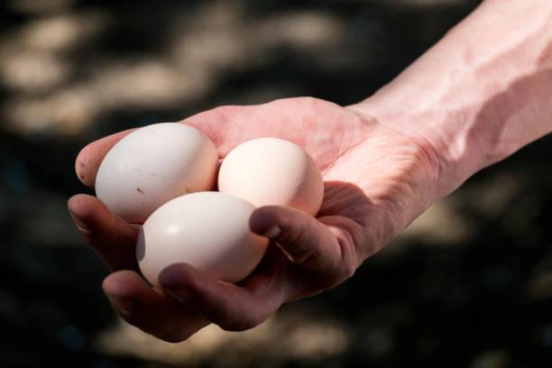 Fresh chicken eggs in the farmer's hand stock photo