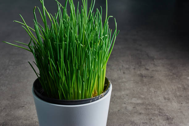 fresh chives in a white pot stock photo