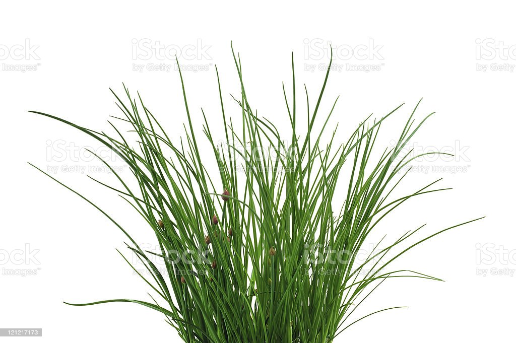 Fresh chives isolated on white background. royalty-free stock photo