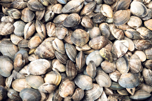Fresh Clams Seafood background stock photo