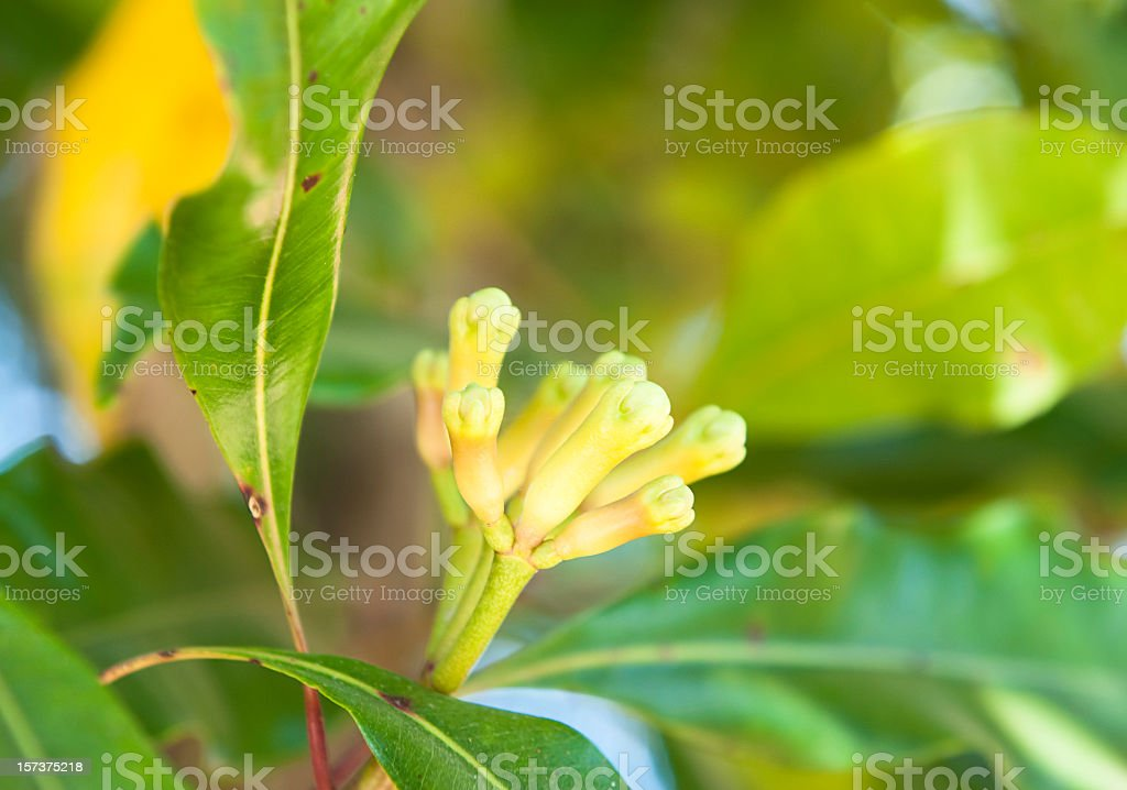 Fresh Cloves Growing royalty-free stock photo