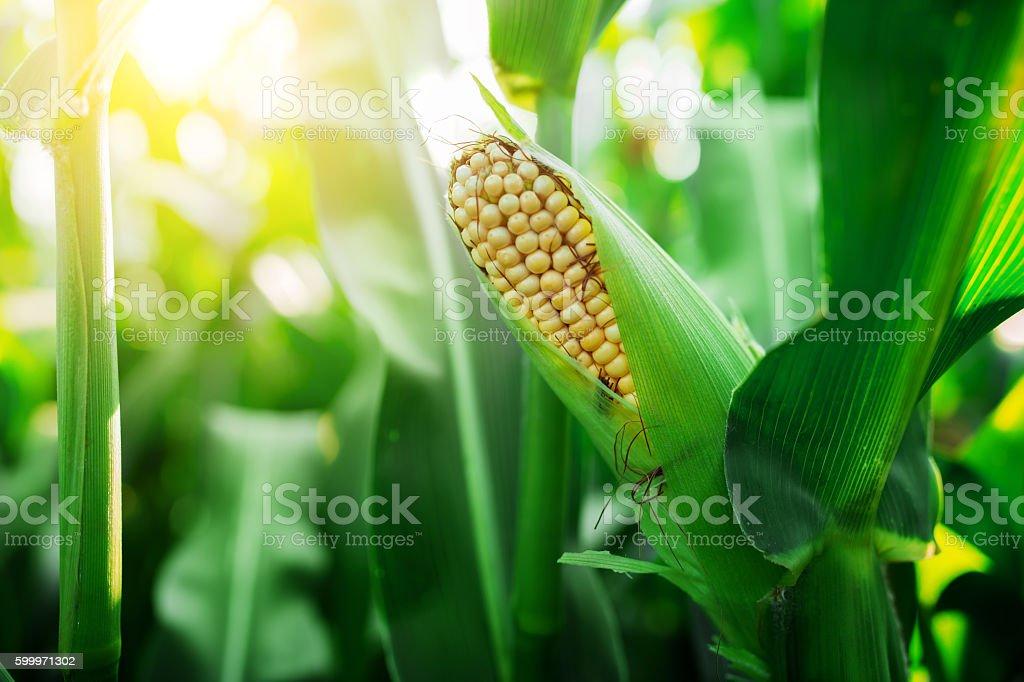 Fresh cob of ripe corn on green field at sunset stock photo