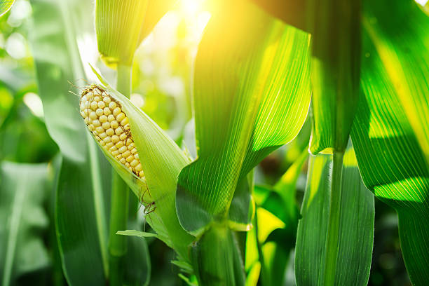 Fresh cob of ripe corn on green field at sunset stock photo