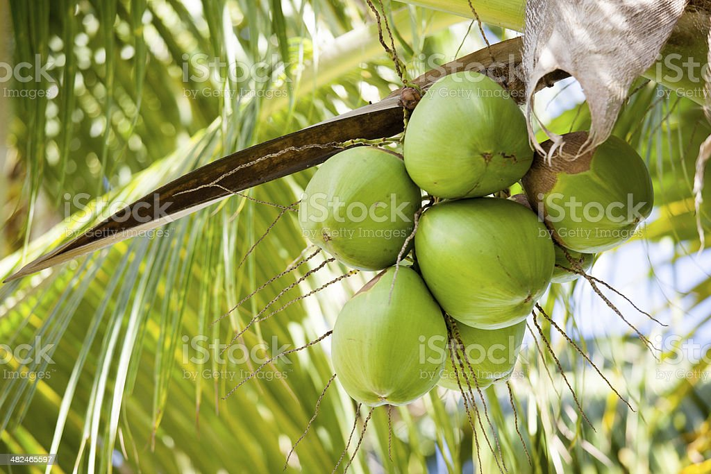 Fresh coconuts hanging on palm tree stock photo