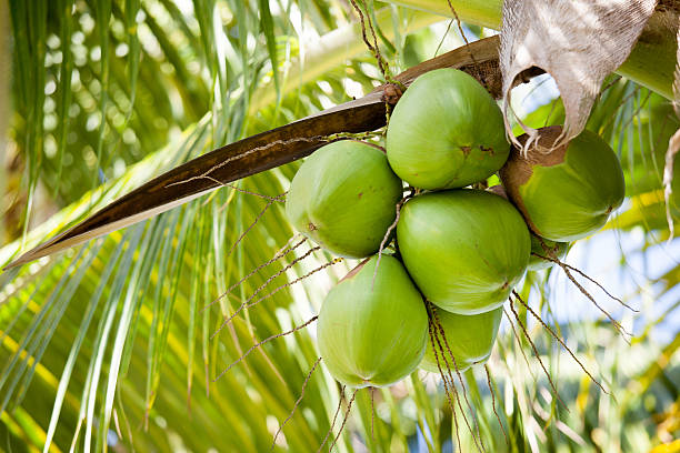 Fresh coconuts hanging on palm tree