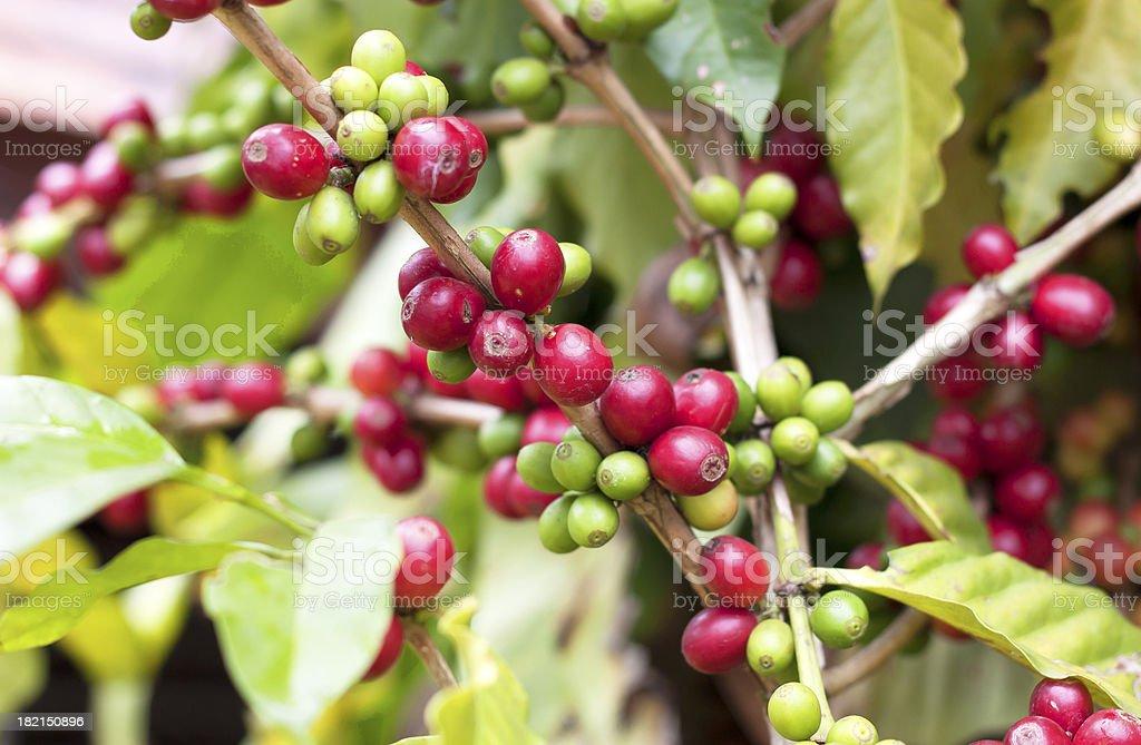 Fresh coffee beans. stock photo