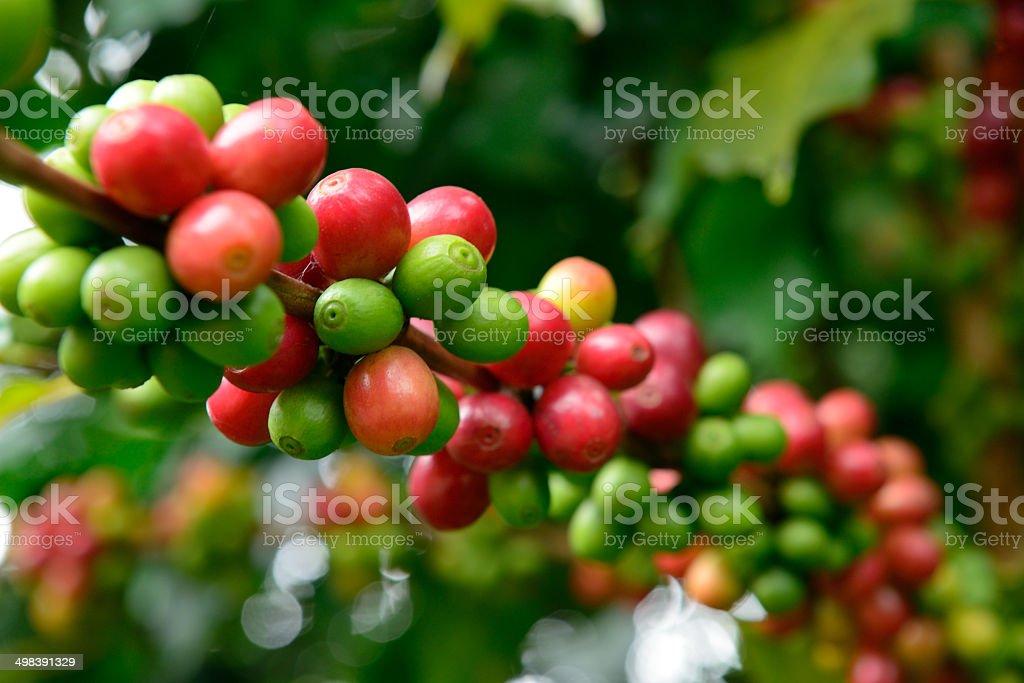 Fresh coffee  beans - Stock Image stock photo