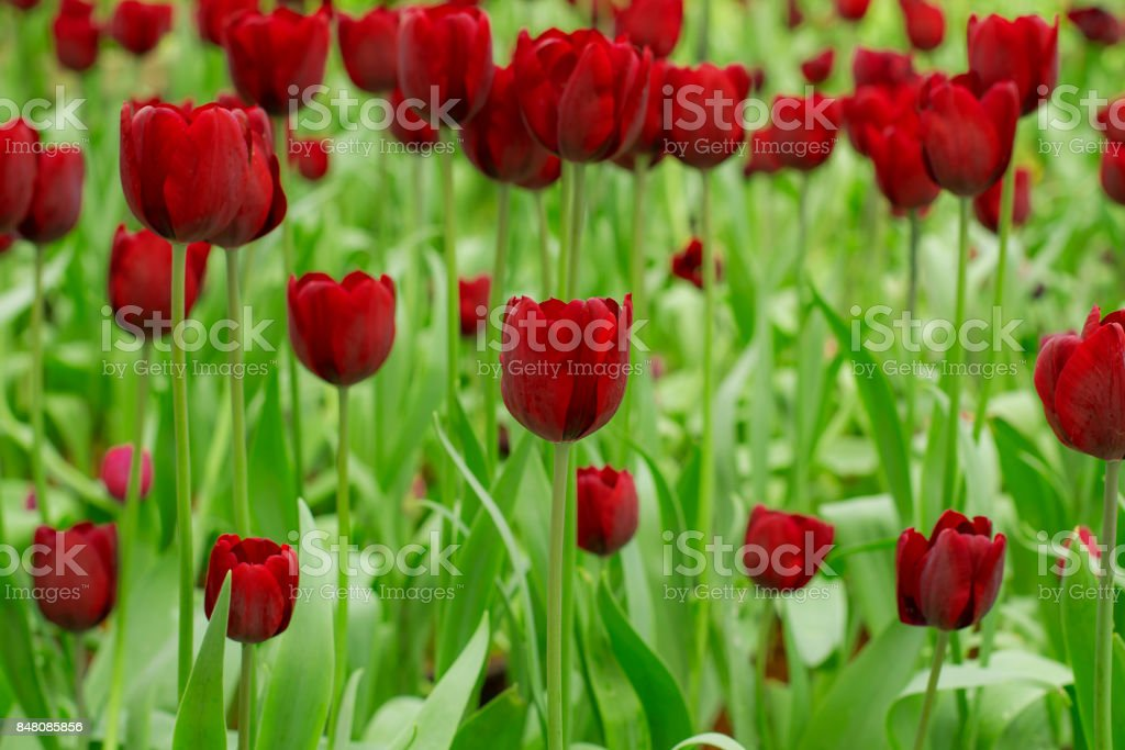 Fresh colorful tulips in warm sunlight stock photo
