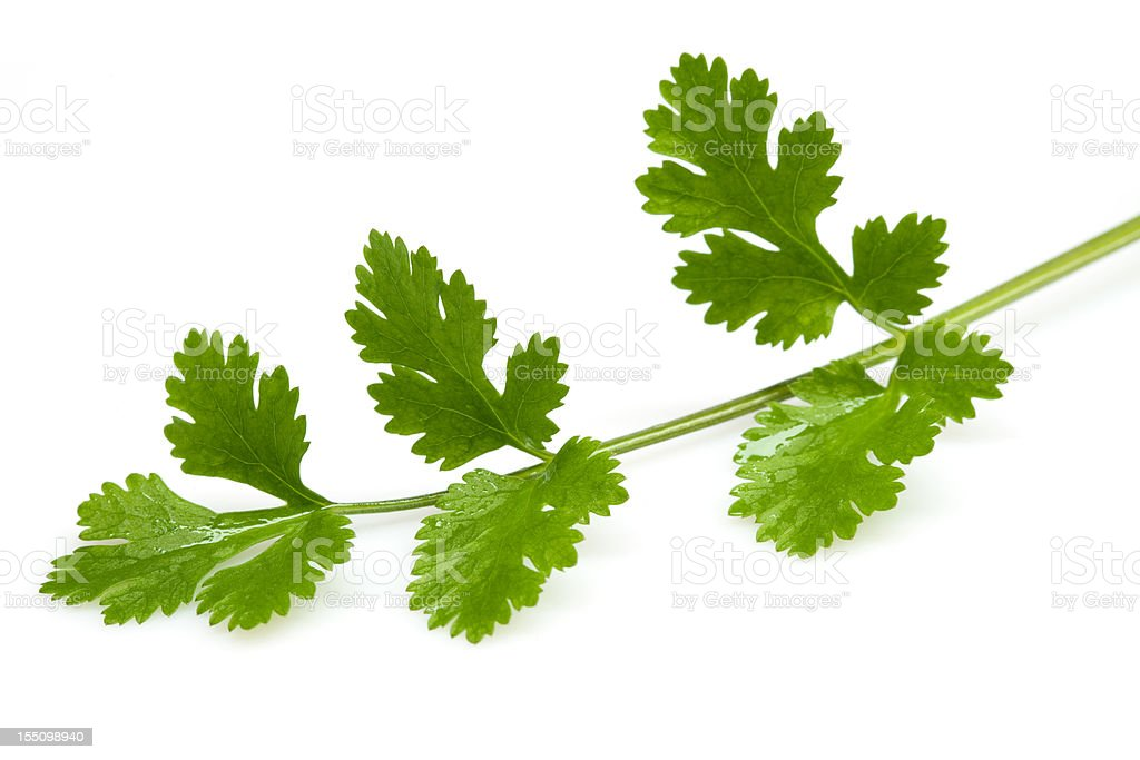 Fresh coriander leaves stock photo
