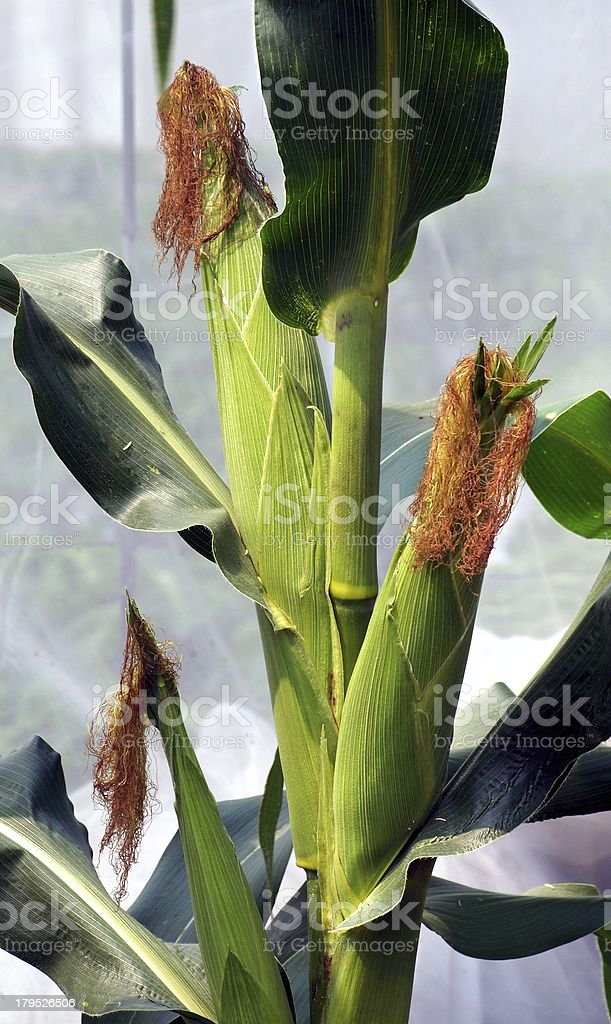 Fresh Corn Cobs on a Large Stalk royalty-free stock photo