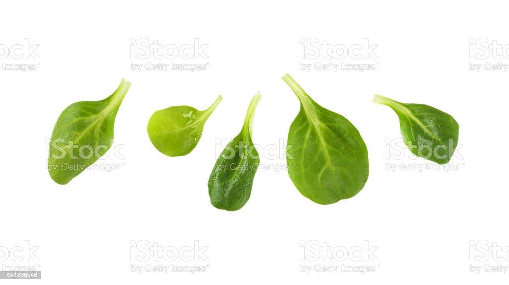 fresh corn salad leaves stock photo