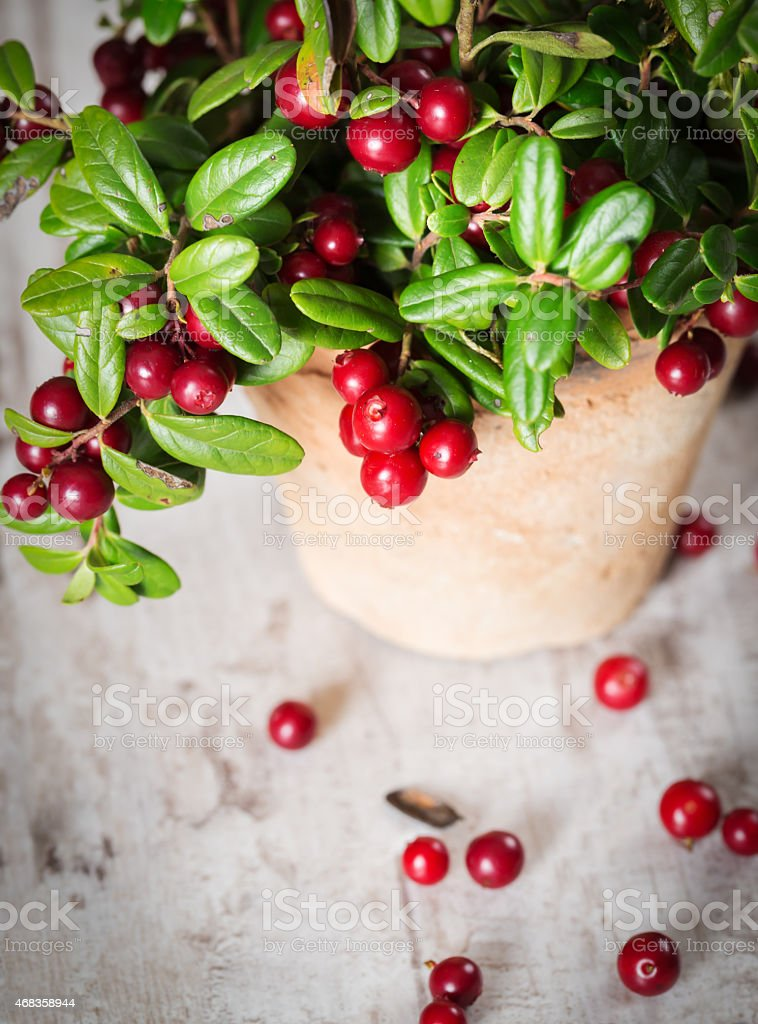 Fresh cranberries in a pot royalty-free stock photo