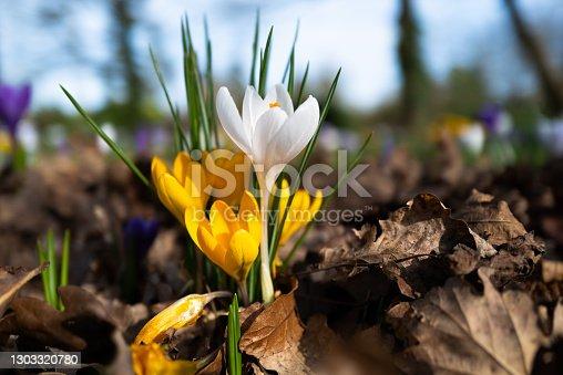 istock Fresh crocus flowers growing wild in spring 1303320780