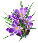fresh purple crocuses, isolated on white background. Blossoming spring flowers.