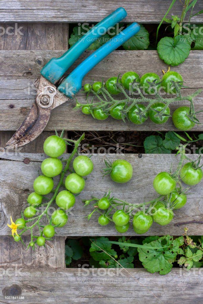 Fresh Crop Of Green Tomatoes With Garden Scissors On Wooden Pallet. Top  View Royalty