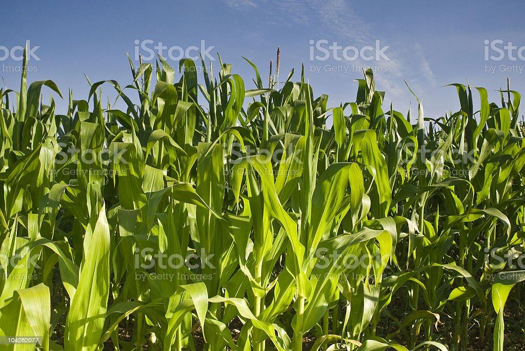Fresh crops royalty-free stock photo