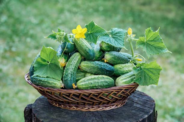 Verse komkommers in een mand op een natuurlijke achtergrond foto