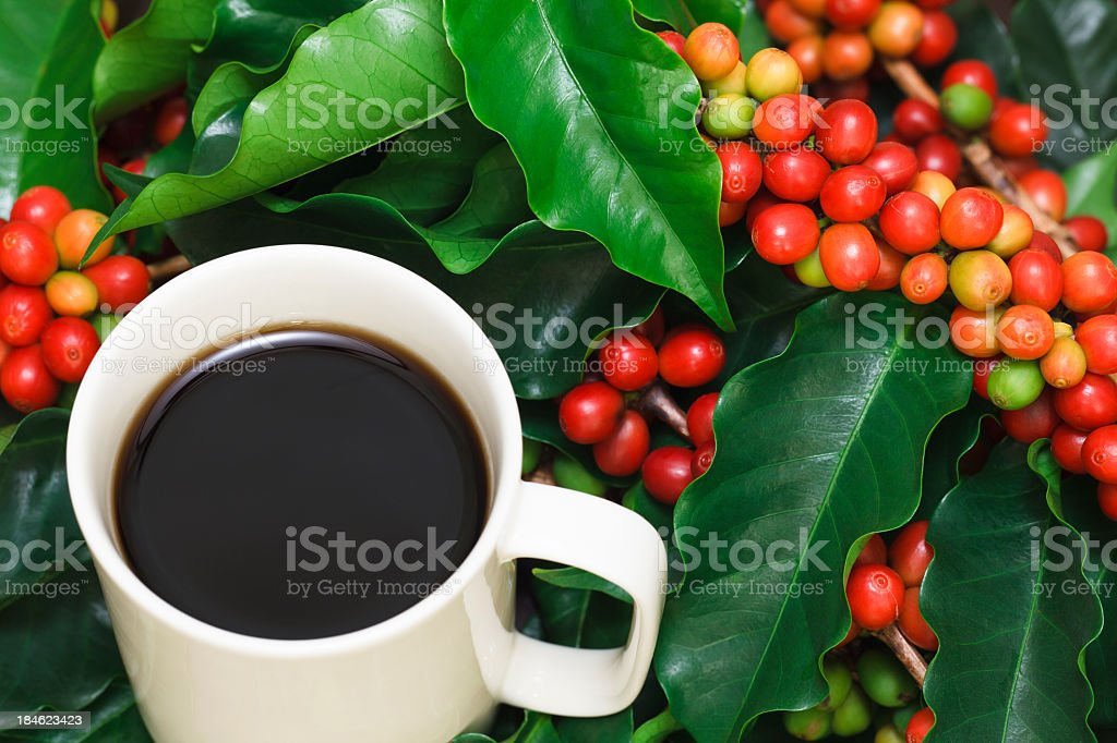 Fresh cup of black coffee sitting in bunches of holly stock photo